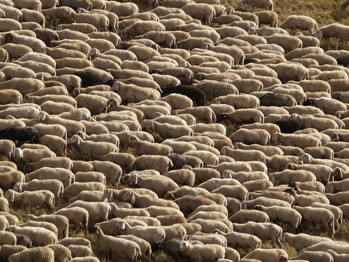 BCM Helps To Crack The Genome Sequence Of Sheep