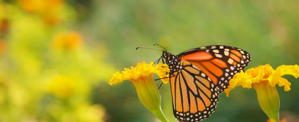 Texas A&M Researcher Helps Monarch Butterfly Comeback